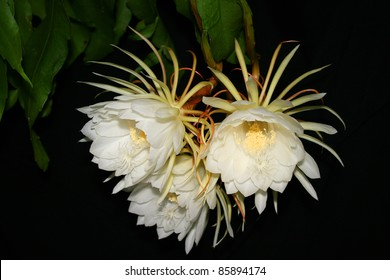 Night blooming cactus images stock photos vectors shutterstock night blooming cereus also known as queen of the night three white blooms of mightylinksfo