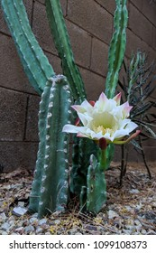 Night blooming flower of Cereus cactus is about to close for the day in early Spring morning