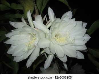Night blooming white flower Saussurea obvallata or Brahma Kamal