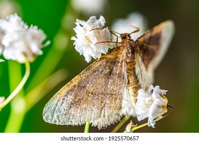 Night butterfly resting on flowers of Gypsophilia. Close-up.