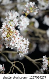 Night cherry blossom, Night sakura