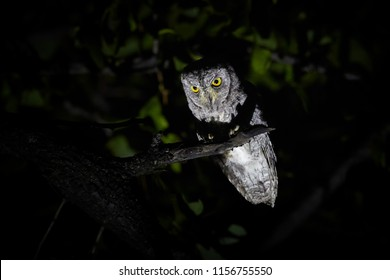Night, close up photo of night bird, African scops owl, Otus senegalensis, illuminated from the bottom, isolated against dark background. Wild animal photography in Okavango delta, Botswana.