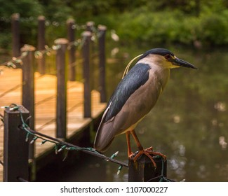 Night Heron perched on a fence with Bokeh background. Taken in Brookgreen Gardens, South Carolina.