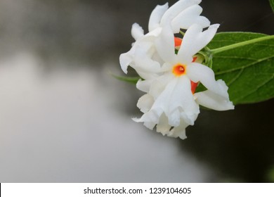 Night jasmine or parijat or coral jasmine (  Nyctanthes arbor tristis) Blooming near pond. Blurred water and trees reflection on water as background, soft focus, copy space,Beautiful bokeh