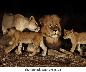 Night of the lions. Family of lions.