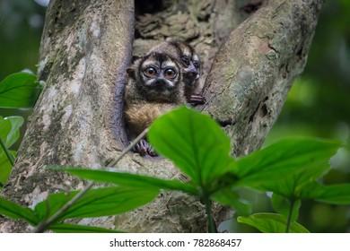 Night monkeys, Panama