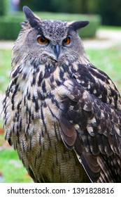 Night owl in the grass