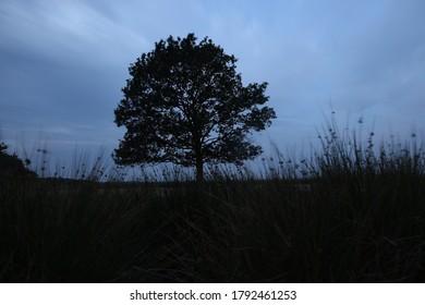 Night photo of lonely oak in Dwingelderveld, The Netherlands