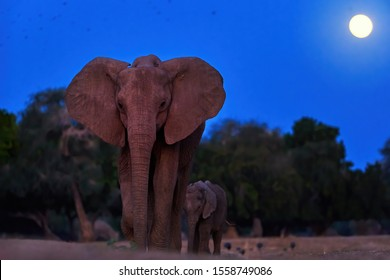 Night photo of a mother elephant with her calf coming out of the bush to drink from the Zambezi River. African elephant against full moon on dark blue sky in background, direct view. Animal behaviour.