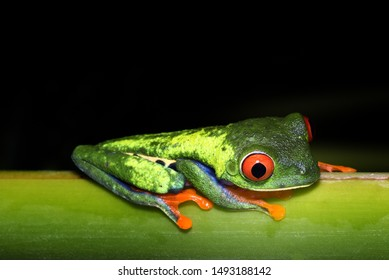 Night photography of a beautiful Red-eyed tree frog, or Gaudy Leaf Frog (Agalychnis callidryas). Puerto Viejo de Sarapiqui, Costa Rica. Colorful animal.