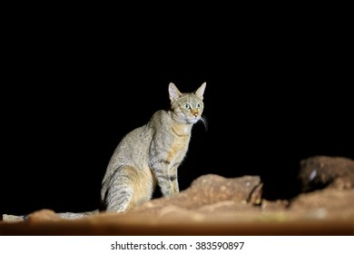 Night picture of African wildcat, Felis silvestris lybica, isolated tomcat sitting on the rocky ground, lit by spotlight against black background. Kruger national park, South Africa.