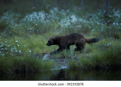 Night picture of elusive Wolverine, Gulo gulo, in the deep nordic forest during white night, looking for prey. Late spring, Finland, Scandinavia.
