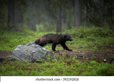 Night picture of  Wolverine, Gulo gulo, in the deep nordic forest during white night, looking for prey.  Late spring, Scandinavia.