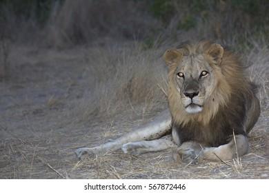 Night portrait of african lion