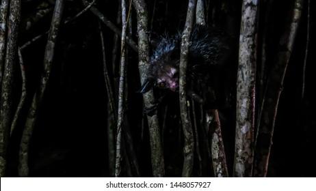 Night portrait of Daubentonia madagascariensis aka Aye-Aye lemur, Atsinanana region in Madagascar
