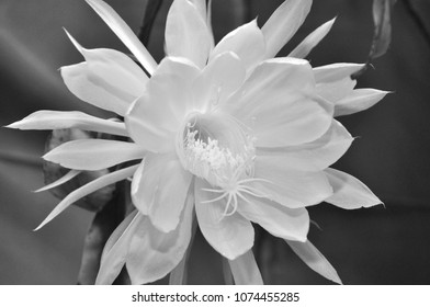 Night bloom images stock photos vectors shutterstock night queen night blooming cereus white epiphyllum or also known as orchid cactus mightylinksfo