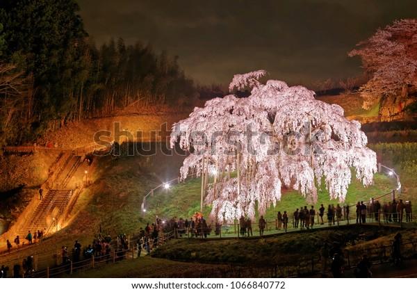 Night scenery of illuminated Miharu Takizakura, a thousand-year-old cherry blossom tree on a hillside in Koriyama countryside, Fukushima, Japan & tourists gathering to admire the huge Sakura tree