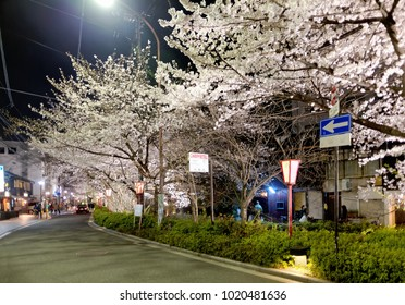 Night scenery of a street in downtown Kyoto during Sakura season with beautiful cherry blossom trees on the roadside lit up by the street lights ~ Sakura Hanami  is a popular activity in spring season