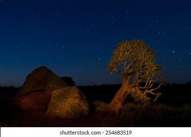 Night shot of a quiver tree with stars.