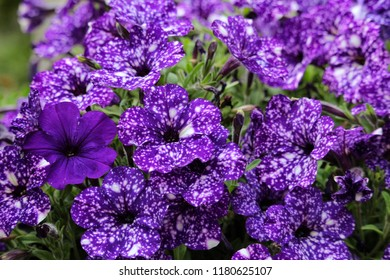 Night Sky Petunia with blue solid bloom