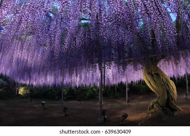The night view of a big blooming purple wisteria tree with many drooping flowers in Ashikaga flower park Tochigi, Japan. Photoed with wide angle fish eye lens.