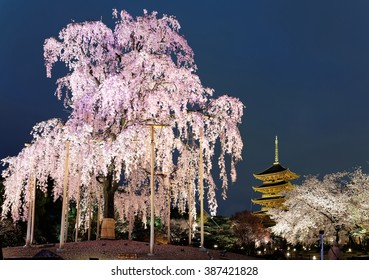 Night view of the famous Five-Story Pagoda of Toji Temple and blossoms of a giant sakura tree in Kyoto Japan ~ Beautiful pink cherry blossoms and a majestic Japanese pagoda at nightfall in Kyoto