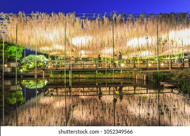 Night View of The Great Wisteria Blooming Like a Waterfall at Ashikaga Flower Park, Tochigi Prefecture, Japan