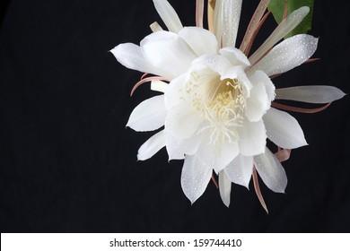 Night blooming cereus images stock photos vectors shutterstock night blooming cereus mightylinksfo