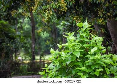 Night-flowering Jasmine