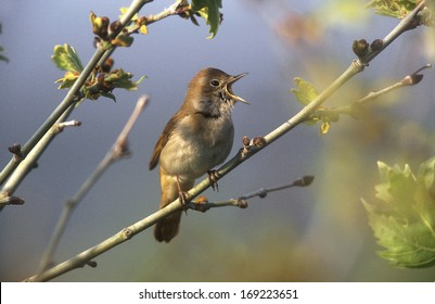 Nightingale, Luscinia megarhynchos, single bird on branch, Greece