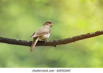 The Nightingale Sings Loud Song On A Branch In The Park On A Sunny Spring  Day