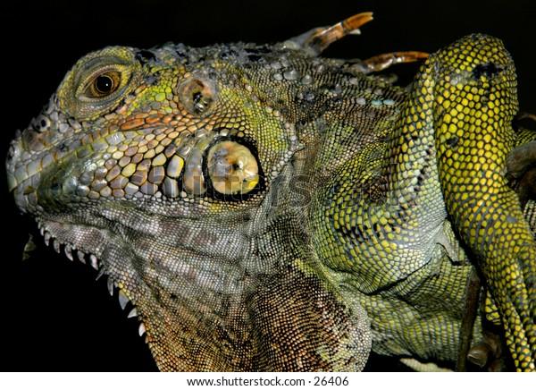 Nightly Reptile