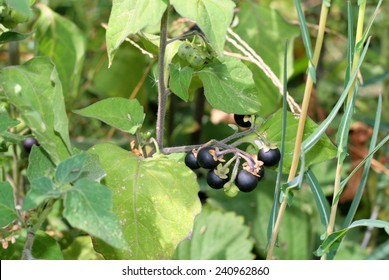 nightshade berry plant selective soft focus toned photo