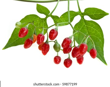 nightshade plant with red berries isolated over white ( Atropa belladonna)