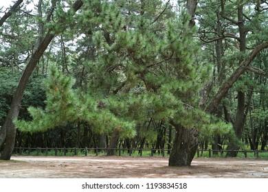 Niji-no-Matsubara Pine forest in Karatsu city Japan