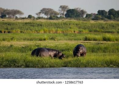 Nijlpaard, Hippo, Hippopotamus amphibius
