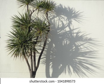 Nikau palm tree casting shadow on white wall, New Zealand