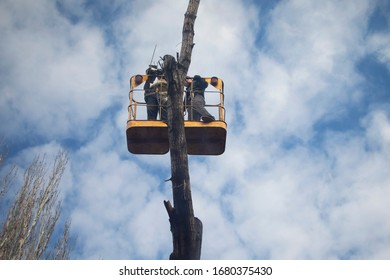 Nikopol / Ukraine - 03 19 2020: Workers on a mobile mechanical car lift cut trees. Annual planned pruning of branches on tall trees