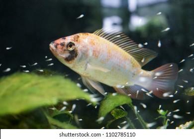 nil tilapia with babyfish, fry, aquaponic