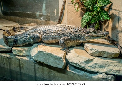 The Nile crocodile is an African crocodile, the largest freshwater predator in Africa, and the second largest reptile in the world, after the saltwater crocodile.