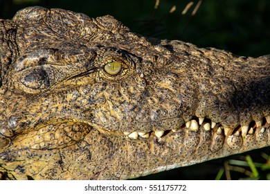 The Nile crocodile is an African crocodile and may be considered the second largest extant reptile in the world. This one was spotted on Madagascar, Africa
