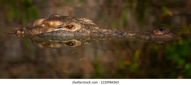 Nile Crocodile close up face shot, wide eye, green sharp and detailed, textured
