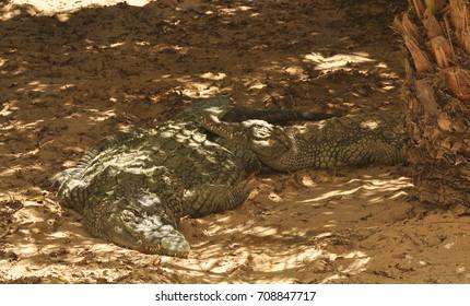 Nile crocodile close up. Africa, Tunisia, crocodile farm. Portrait of crocodile