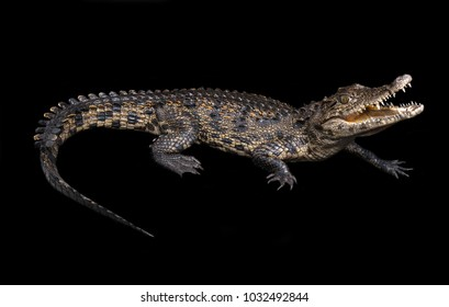 The Nile crocodile (Crocodylus niloticus) is an African crocodile, the largest freshwater predator in Africa, and may be considered the second largest extant reptile in the world