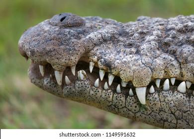 07d3d6e5c13b Nile crocodile (Crocodylus niloticus) detail showing teeth and nostrils.  KwaZulu Natal. South