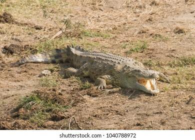 Nile Crocodile Crocodylus niloticus mouth open in Queen Elizabeth National Park, Uganda
