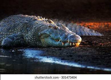 Nile crocodile (crocodylus niloticus) on riverbank with last light of day -Kruger National Park (South Africa)