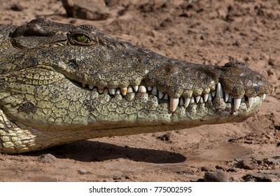 Nile Crocodile (Crocodylus niloticus) on the Chobe River in Botswana.