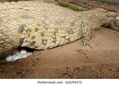 Nile crocodile laying eggs in the sand