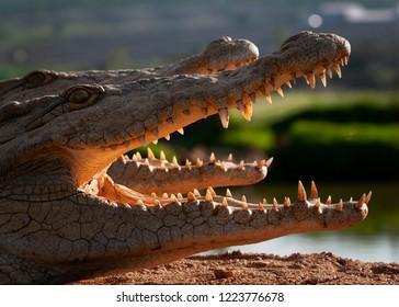 Nile crocodile laying in the sun